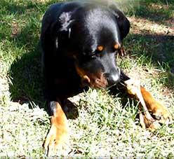 Dog eating pork bone
