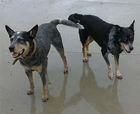 Blue Heeler & Border Collie