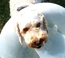 Archie dog in bucker collar
