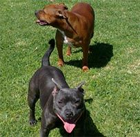 molly & Zara english staffys
