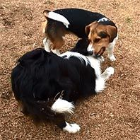 border collie & beagle dogs playing