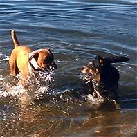 kelpie boxer dogs