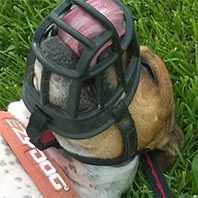 Apache English Staffordshire Terrier
