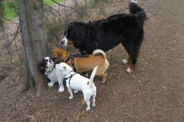 cavalier dog surrounded by dogs