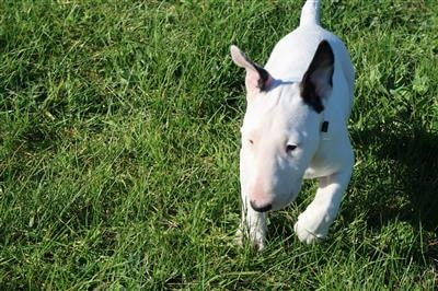Bull terrier puppy treat lover