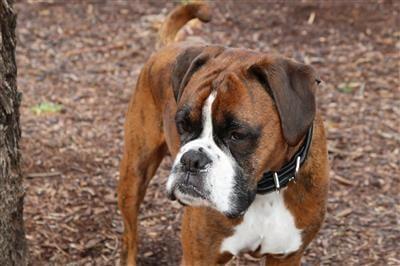a big dog chew dog