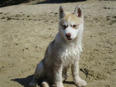 puppy-dog-treats puppy dog husky