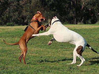 dogs-loving-play bullarab and vizsla