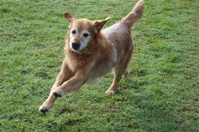 -happy-dog-running-free