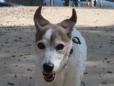 Max-mature-age-champion-dog