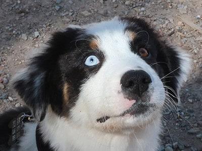 Aussie-Border-Puppy