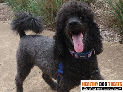 barkley poodle dog