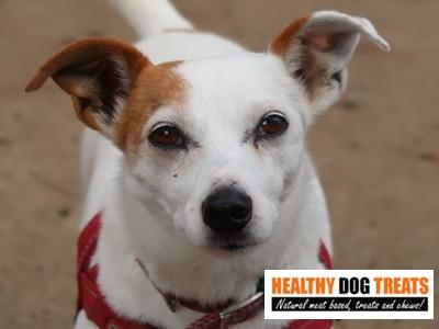 Tilly Jackrusell dog