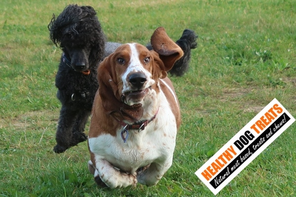 running healthy dogs basset poodle