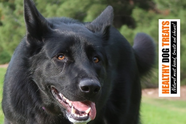 black dog healthy dog treats